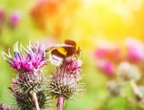 Abejorro en un cierre de la flor para arriba Fotos de archivo libres de regalías