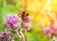 Abejorro en un cierre de la flor para arriba Imagen de archivo libre de regalías