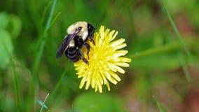 Abejorro en un diente de león, insecto amarillo único hermoso encima de una flor Fotografía de archivo libre de regalías