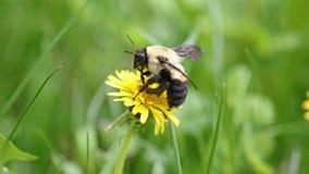 Abejorro en un diente de león, insecto amarillo único hermoso encima de una flor Foto de archivo