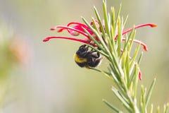 Abejorro en un diente de león, insecto amarillo único hermoso encima de una flor Imagen de archivo