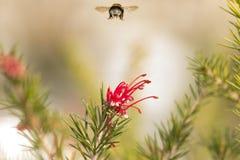 Abejorro en un diente de león, insecto amarillo único hermoso encima de una flor Fotografía de archivo