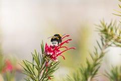 Abejorro en un diente de león, insecto amarillo único hermoso encima de una flor Imagen de archivo libre de regalías