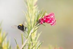 Abejorro en un diente de león, insecto amarillo único hermoso encima de una flor Imágenes de archivo libres de regalías