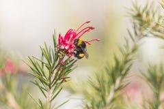 Abejorro en un diente de león, insecto amarillo único hermoso encima de una flor Imagenes de archivo