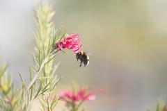 Abejorro en un diente de león, insecto amarillo único hermoso encima de una flor Fotos de archivo libres de regalías
