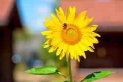 Abejorro en un girasol de la flor Imágenes de archivo libres de regalías