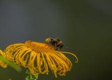Abejorro en un helenio de la flor Fotos de archivo libres de regalías
