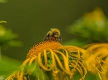 Abejorro en un helenio de la flor Imagen de archivo libre de regalías