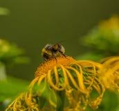 Abejorro en un helenio de la flor Fotografía de archivo