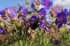 Abejorro en un prado brillante del verano Imagen de archivo libre de regalías