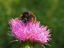 Abejorro en una bardana de la flor Fotografía de archivo