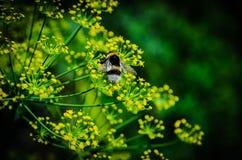 Abejorro en una flor Imagenes de archivo