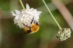 Abejorro en una flor Fotos de archivo libres de regalías