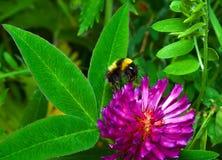 Abejorro en una flor Fotos de archivo