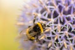 Abejorro en una flor Foto de archivo