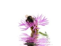 Abejorro en una flor Imagen de archivo libre de regalías