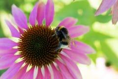 Abejorro en una flor Imagen de archivo
