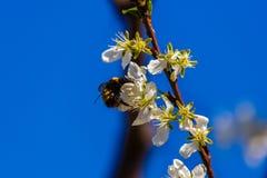Abejorro en una flor Imágenes de archivo libres de regalías