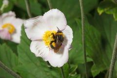Abejorro en una flor Fotografía de archivo