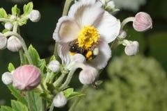 Abejorro en una flor Foto de archivo libre de regalías