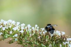 Abejorro en una flor Fotografía de archivo libre de regalías
