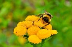 Abejorro en una flor amarilla Fotos de archivo