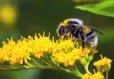 Abejorro en una flor amarilla Imagen de archivo libre de regalías