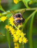Abejorro en una flor amarilla Fotografía de archivo