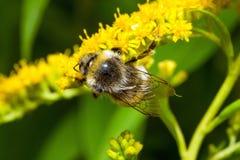 Abejorro en una flor amarilla Fotos de archivo libres de regalías