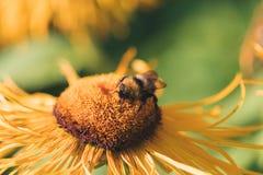 Abejorro en una flor amarilla Foto de archivo libre de regalías