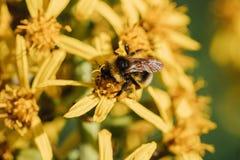 Abejorro en una flor amarilla Imagen de archivo