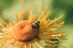 Abejorro en una flor amarilla Imágenes de archivo libres de regalías