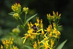 Abejorro en una flor amarilla en el bosque negro, Alemania Fotos de archivo libres de regalías