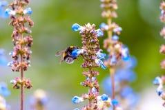 Abejorro en una flor azul Humor del verano Foto de archivo