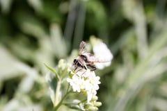 Abejorro en una flor blanca, agitando Fotografía de archivo