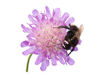 Abejorro en una flor de acerico Foto de archivo libre de regalías