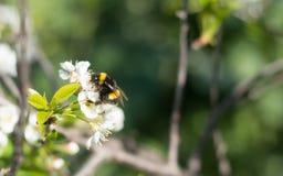 Abejorro en una flor de cerezo Fotos de archivo