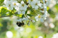 Abejorro en una flor de cerezo Fotos de archivo libres de regalías