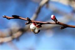 Abejorro en una flor de cerezo Foto de archivo