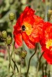 Abejorro en una flor de la amapola Imagen de archivo