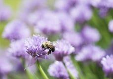 Abejorro en una flor de la cebolleta Imagen de archivo