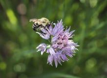 Abejorro en una flor de la cebolleta Foto de archivo