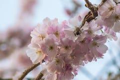 Abejorro en una flor de la cereza Imágenes de archivo libres de regalías
