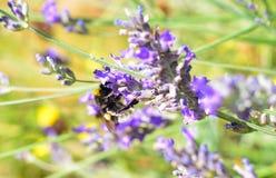 Abejorro en una flor de la lavanda en Provence Fotografía de archivo libre de regalías