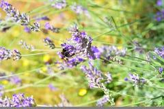 Abejorro en una flor de la lavanda en Provence Imágenes de archivo libres de regalías