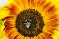 Abejorro en una flor de un girasol Imágenes de archivo libres de regalías