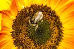 Abejorro en una flor de un girasol Foto de archivo