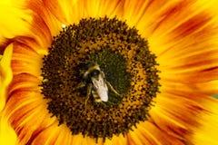 Abejorro en una flor de un girasol Foto de archivo libre de regalías
