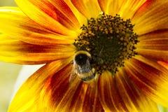 Abejorro en una flor de un girasol Imagenes de archivo
